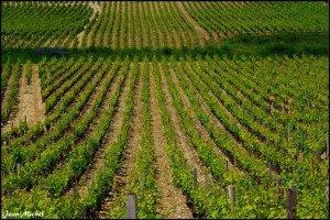 Vigne bourgogne
