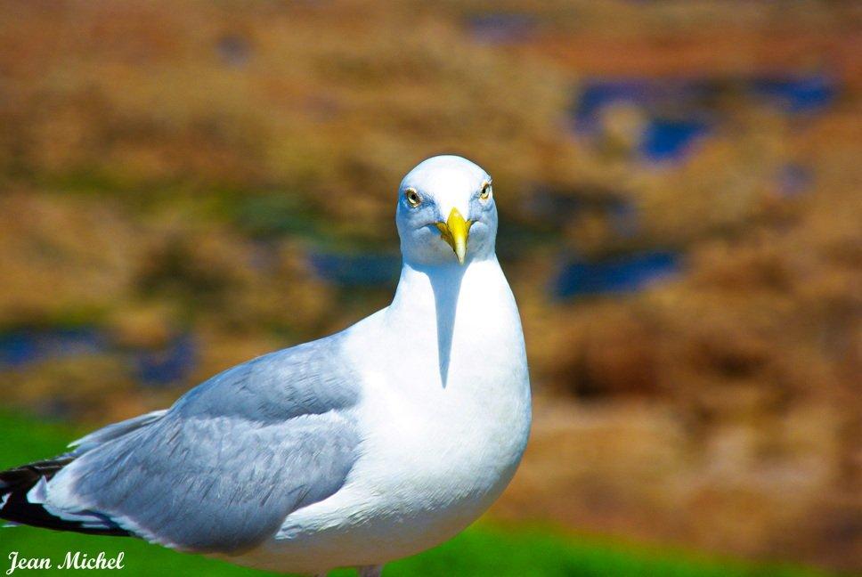 Portrait seagull